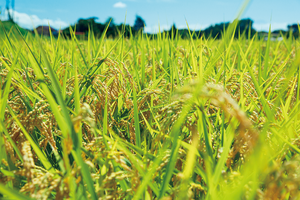 寒暖差の大きい気候では、おいしい米が生まれる。豊かな大自然の恩恵を受けた北杜市の米は今季も豊作です。