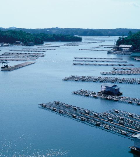 真珠養殖を行っている三重県志摩の英虞湾。台風や赤潮など自然の影響を受けやすいアコヤ貝を、良い環境で育てるために、現在も努力が続けられている。