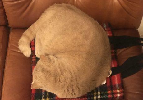 おっとり猫、チャイ坊の毎日。「寝るならバッグの上で」
