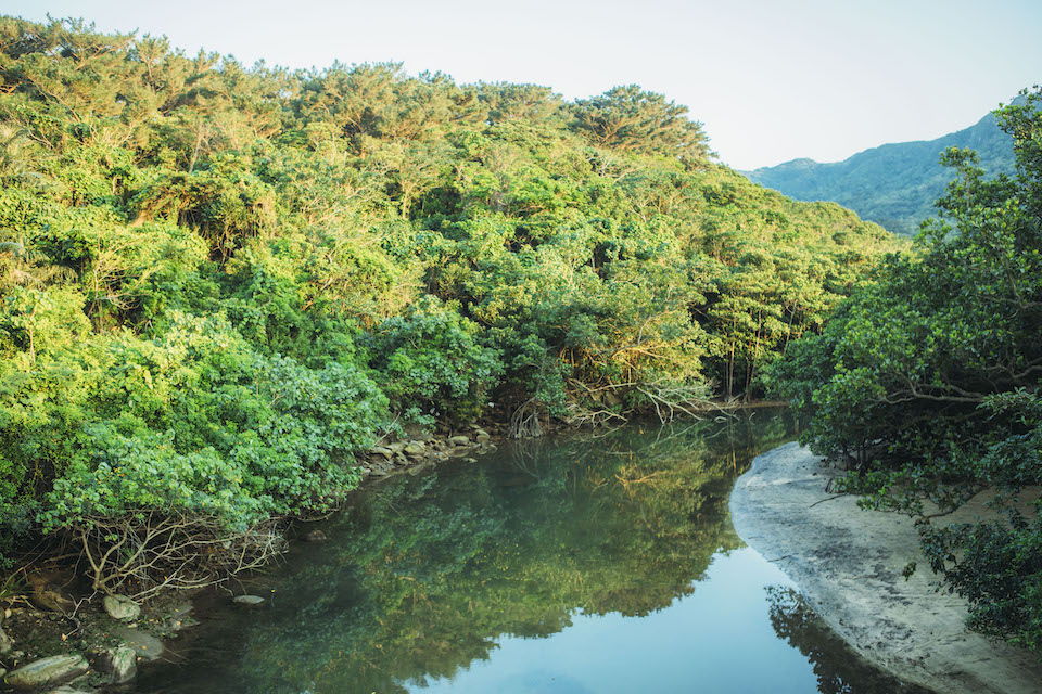 約9割が亜熱帯の原生林に囲まれている西表島。海水と淡水の交じり合う汽水域には、広大なマングローブ林が広がる。