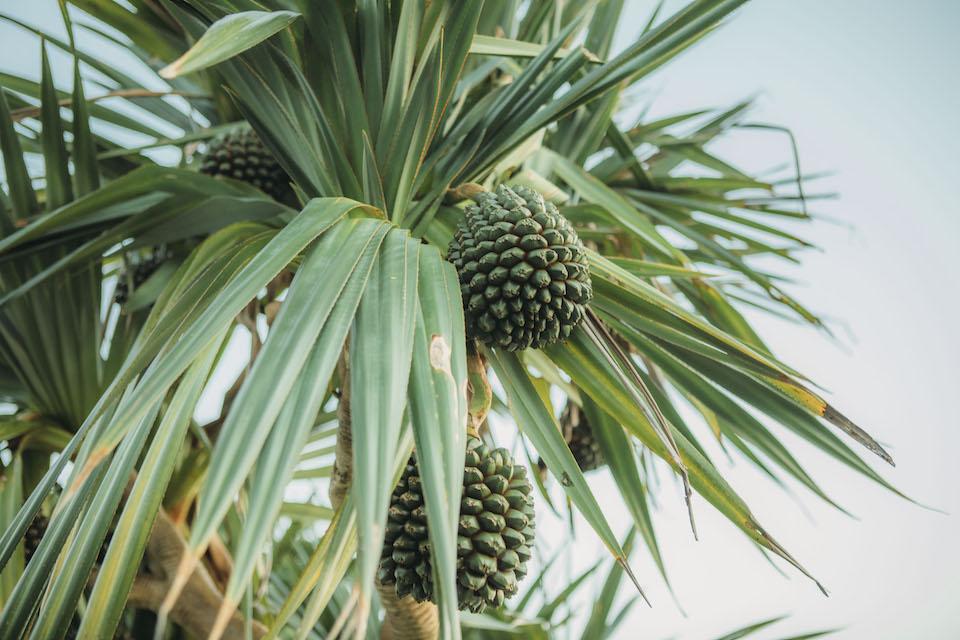 島を歩くとよく見かける、亜熱帯から熱帯地域に生育するアダン。パイナップルによく似た実は、絶滅危惧種であるヤシガニの好物としても知られる。