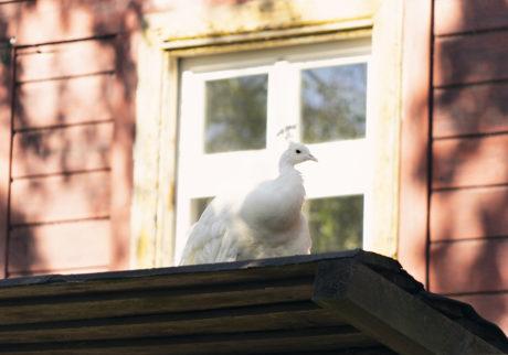 KarlovyVary peacock