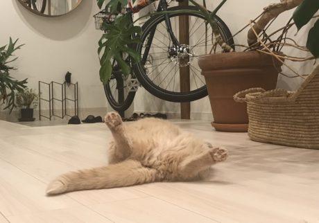 おっとり猫、チャイ坊の毎日。「僕のおすすめ体操」