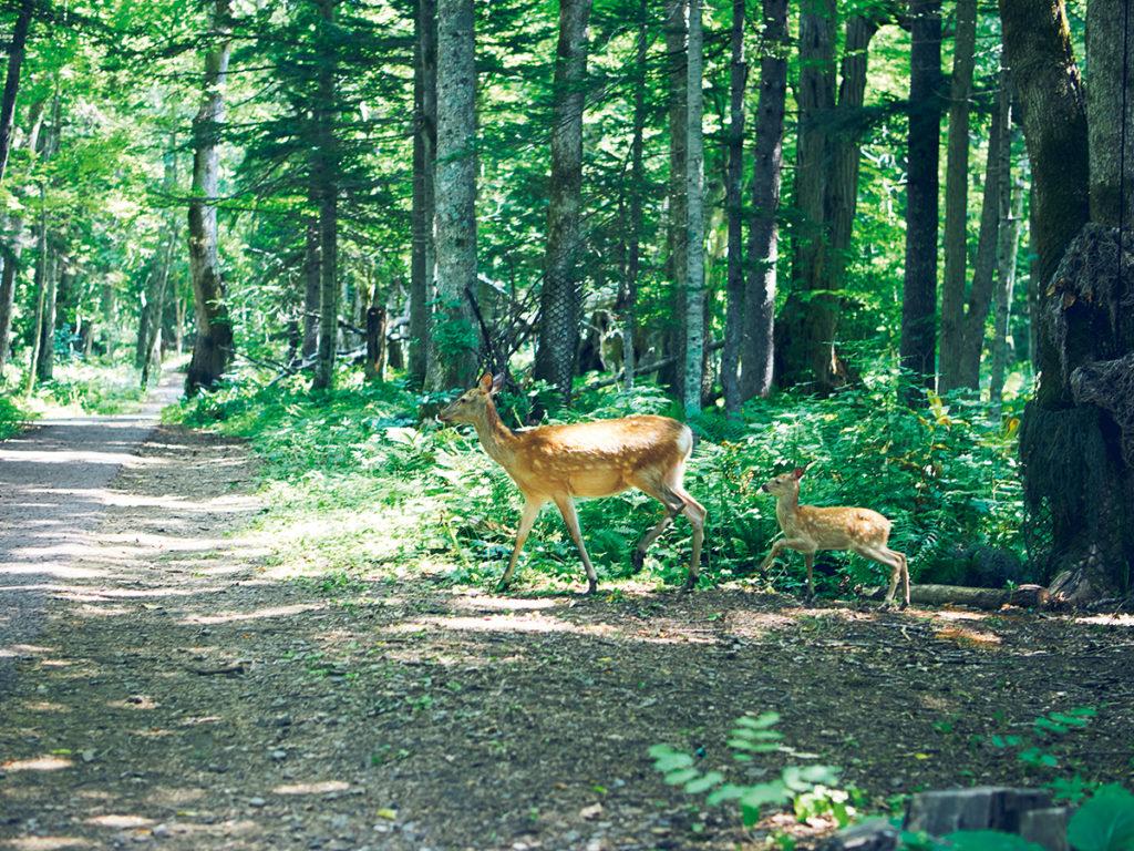 湖の周辺には様々な野生動物が生息している。特にエゾシカは頻繁に目にすることができる。