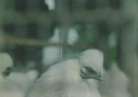 とり小屋 より 白い鳥