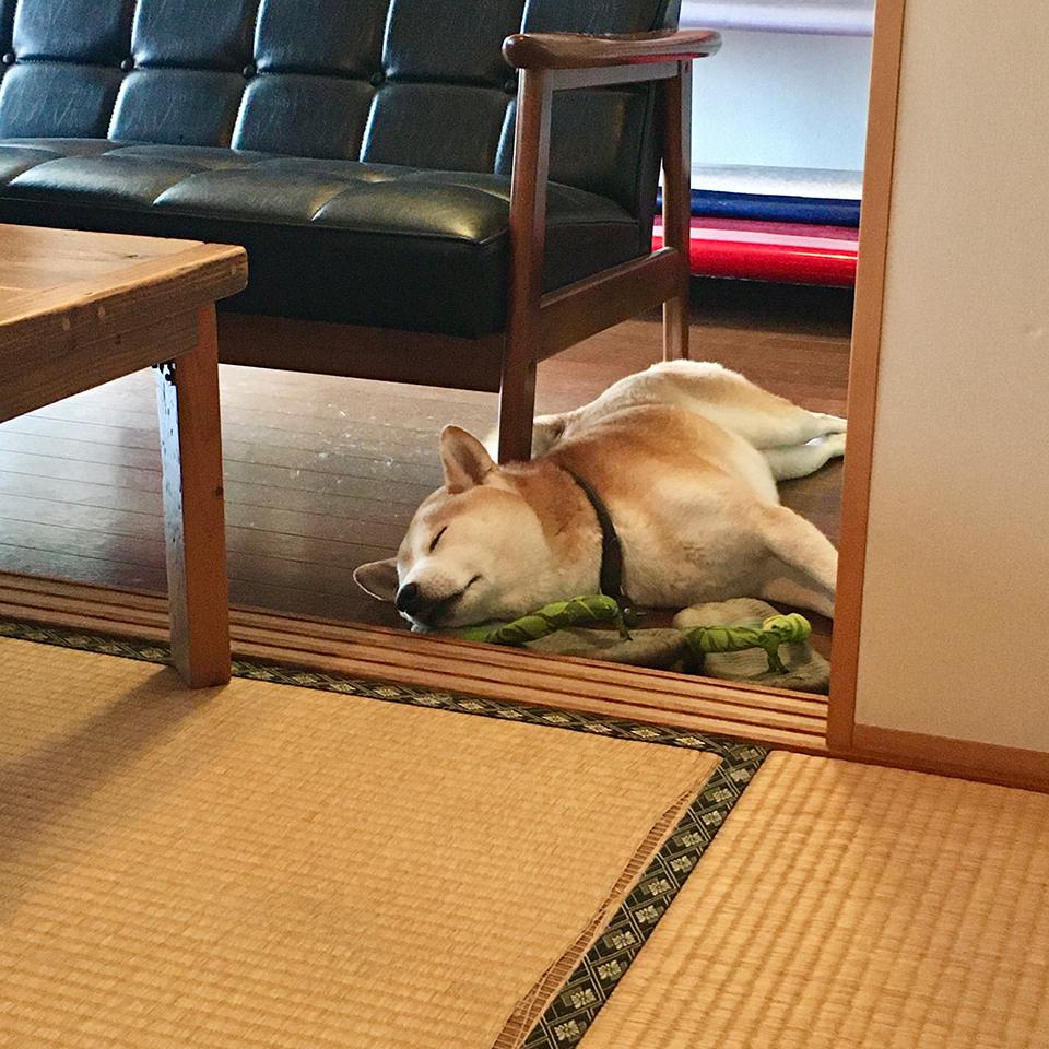 柴犬、落ちてます。