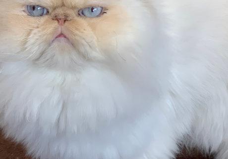 おじさん顔の猫ダイアリー、 ぼくはヒマである。胸毛フェチ。