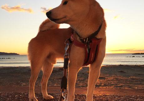 シバイヌ モクのベターな日々。夜明けのモク。