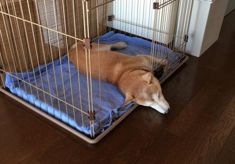 シバイヌ モクのベターな日々。寝相はいいほうです。