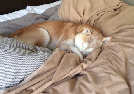 シバイヌ モクのベターな日々。二度寝に突入。