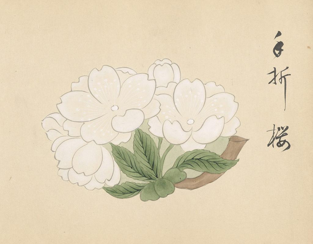 「形物御菓子見本帖」『手折桜』(大正7/1918年)14代店主・黒川光景は受け継がれてきた意匠に新たな菓子を加え、約1,300もの菓子の絵を画家に描かせ、計6冊からなる新しい見本帳を仕上げた。