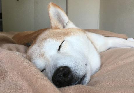 シバイヌ モクのベターな日々。平和な寝顔。