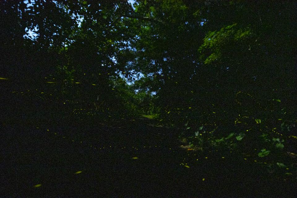 1年を通して飛び交うホタルが見られる西表島。この時期見られるのは、日本一小さなホタル、ヤエヤマホタルの群舞。日没後40~50分ほどしか見られない幻想的な光の点滅が胸とうつ。©Choji Nakahodo