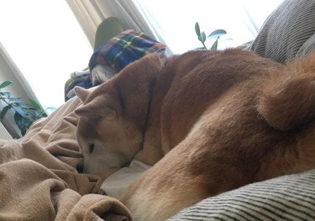 シバイヌ モクのベターな日々。二度寝中の景色。