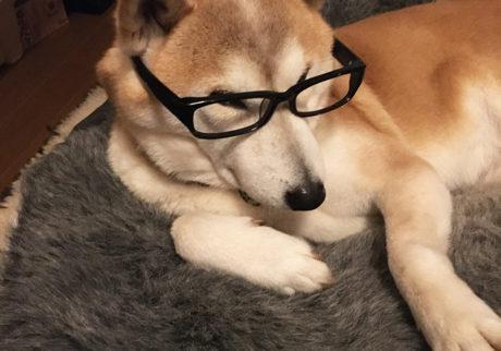 シバイヌ モクのベターな日々。老眼鏡始めました。