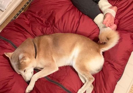 シバイヌ モクのベターな日々。寝袋の定位置。