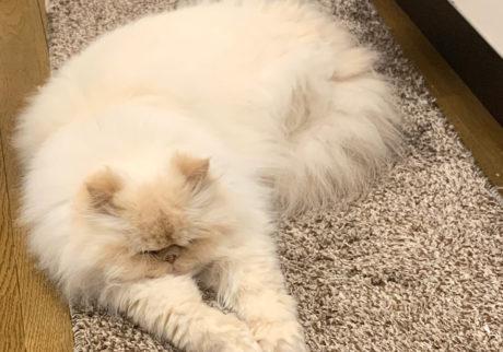 おじさん顔の猫ダイアリー、 ぼくはヒマである。暑さ対策。