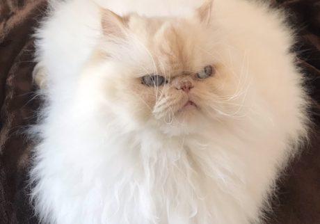 おじさん顔の猫ダイアリー、 ぼくはヒマである。ヒマも衣更え。