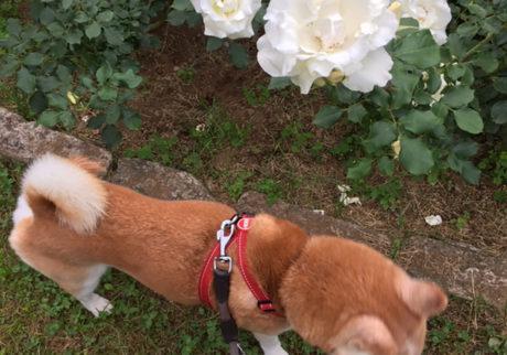 シバイヌ モクのベターな日々。お花には興味なし。