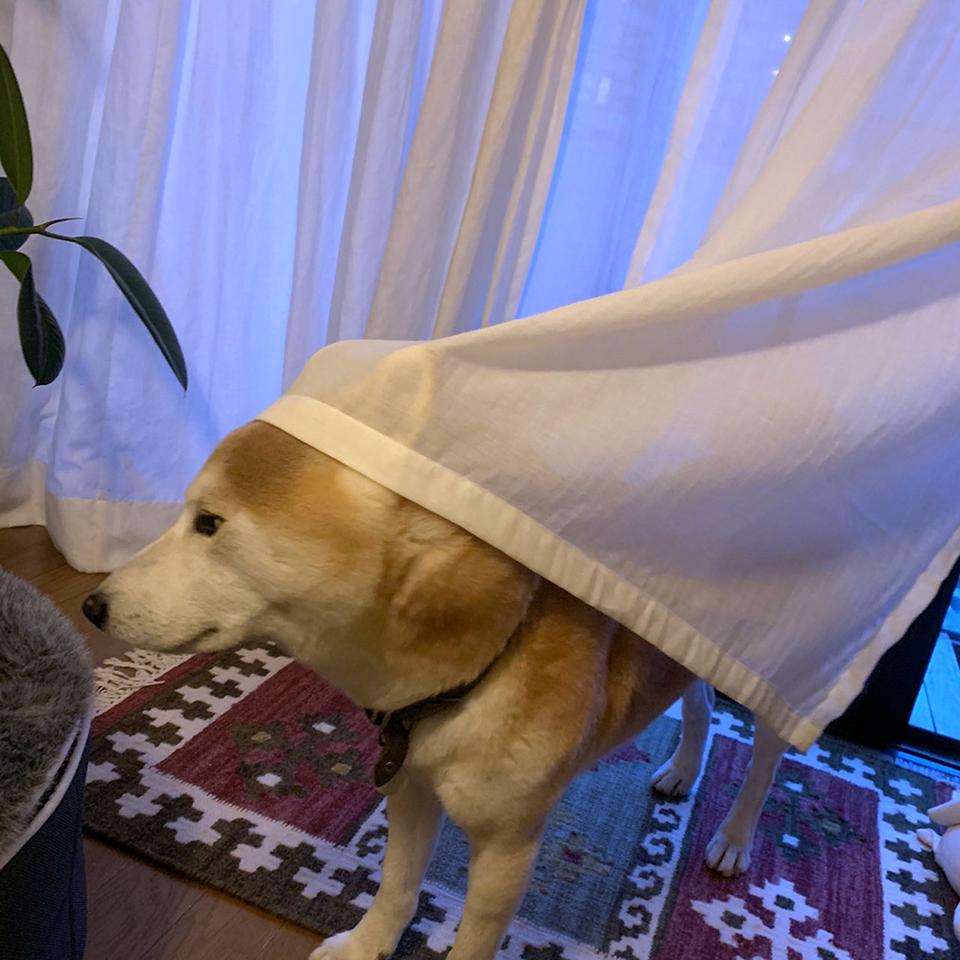 カーテンは被るもの。