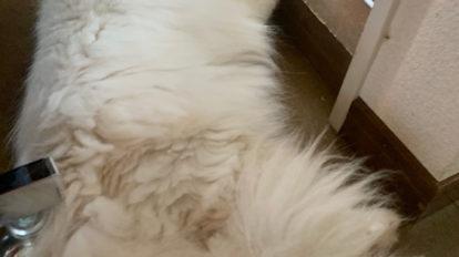 おじさん顔の猫ダイアリー、 ぼくはヒマである。お手手ちょこん。