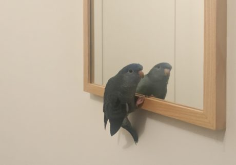 僕とサザナミインコ ダイアンの生活。鏡の友達。