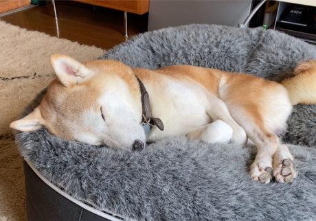 シバイヌ モクのベターな日々。ノンレム睡眠中。