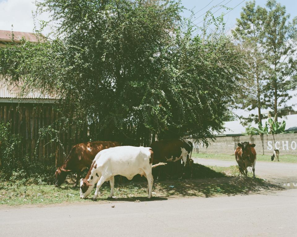 牛さんたちは自分でお散歩をして日が暮れる前に家にかえる。