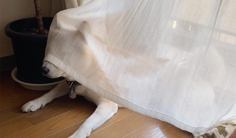 シバイヌ モクのベターな日々。御簾越しの姫風情。