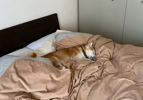 シバイヌ モクのベターな日々。二度寝はベッドで。