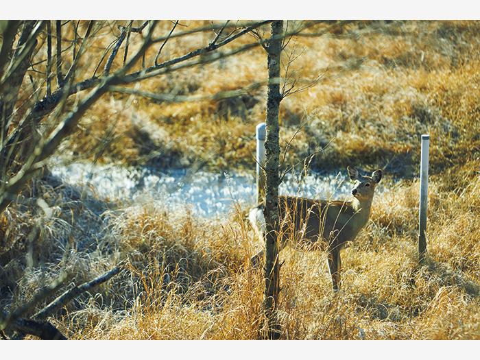 湿原で遭遇した野生のエゾシカ。冬毛は灰色がかっている。道路にも頻繁に出現するため、飛び出し注意。