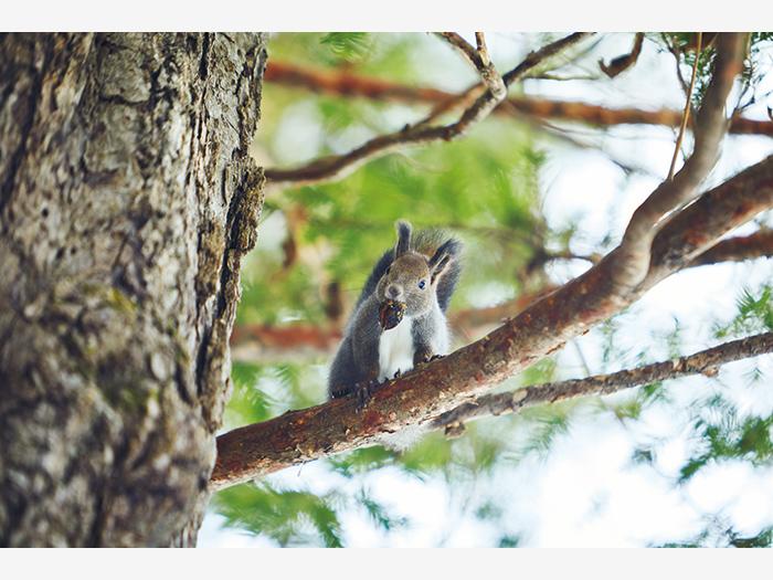 『ボッケ』へ向かう遊歩道もまた野生動物の生息地。木の実をかじる音のする方に目を凝らすとエゾリスが。