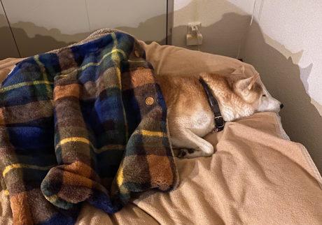 シバイヌ モクのベターな日々。寒い夜だから。