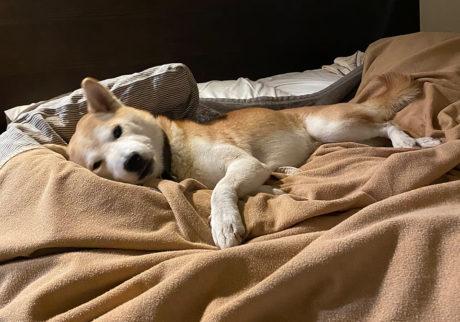 シバイヌ モクのベターな日々。早く寝ようよ。