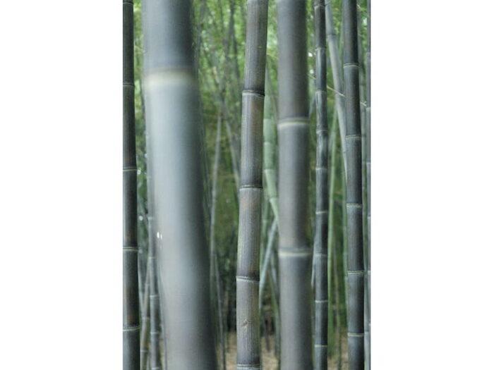 黒竹と真竹の林。手前は黒 竹。京都の竹材の歴史は古く、美しさを生かした京都産の竹は、京銘竹とい われる。