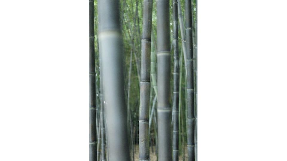 黒竹と真竹の林。手前は黒竹。京都の竹材の歴史は古く、美しさを生かした京都産の竹は、京銘竹といわれる。