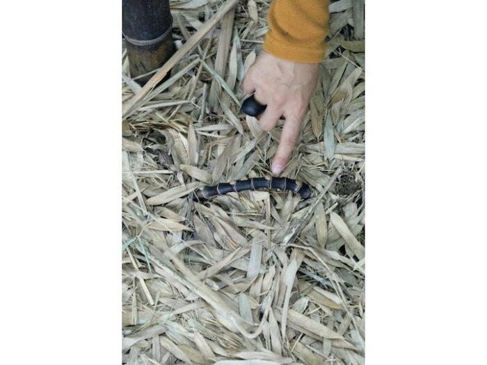 黒竹の地下茎が ひょっこり。