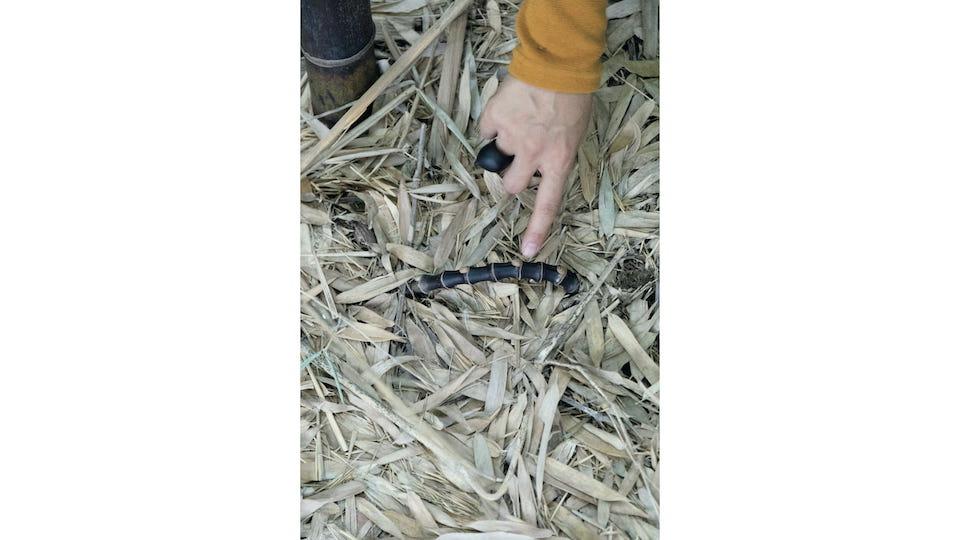 黒竹の地下茎がひょっこり。