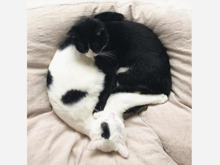 ベルカ「ハチワレの黒ネコ、ベルカです。なんかわたしたちの連載が始まるらしいですね」  おもち「白に黒ぶちのおもちだよ。かわいいからみんな見てくれるんじゃなぁい?」