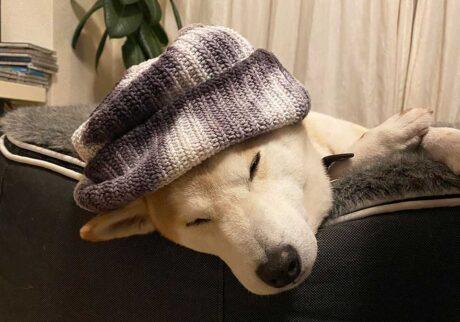 シバイヌ モクのベターな日々。新しいお帽子。