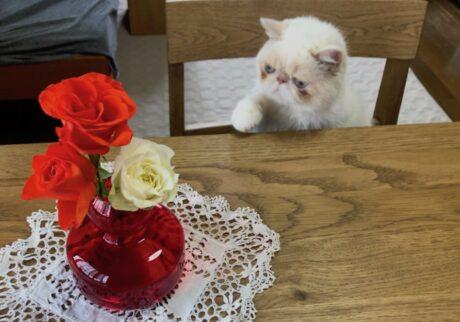 テンちゃんが載ってる&Premium6月号はお花の特集なんだって。このバラの気高さには、シンパシーを感じるなぁ。
