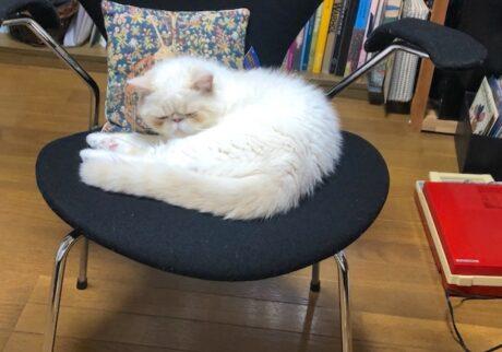 このイスで寝るのがマイブームである。テンちゃんの自慢の白い毛と黒のコントラストが素敵でしょう。お世話係の飼い主さんは、掃除が大変だって言うけど、気にしないもんね。