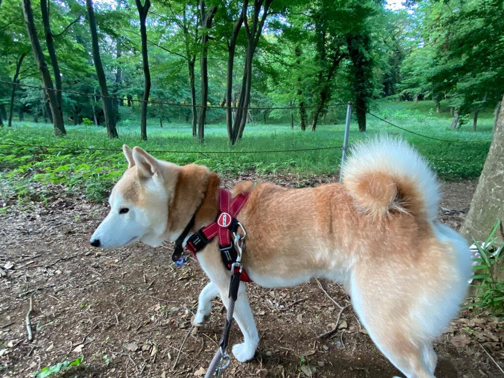 森に気配が 芝犬 モク