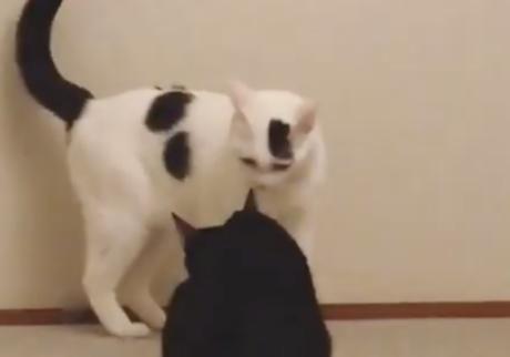 もちベル猫相撲