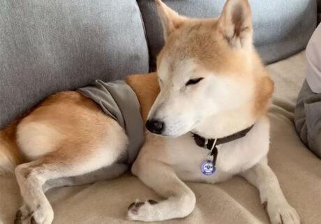 ガクブルのモク。 柴犬