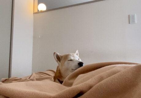 二度寝からおはよう。 柴犬 モク