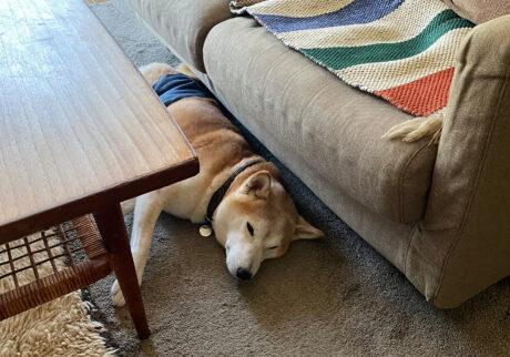 猛暑日のお昼寝なら。 モク  柴犬