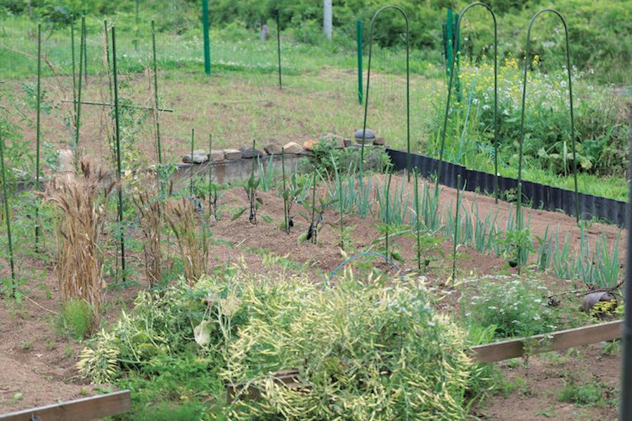 ゴマを栽培している、家の前の畑。