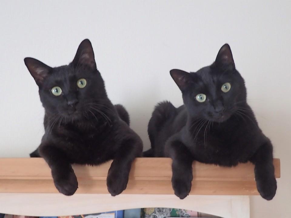 なな(左)「僕たちは仲良し黒猫兄弟のななとはちだよ」 はち(右)「シンクロしているって言われるけれど、いつも一緒だから自然なことだよ」