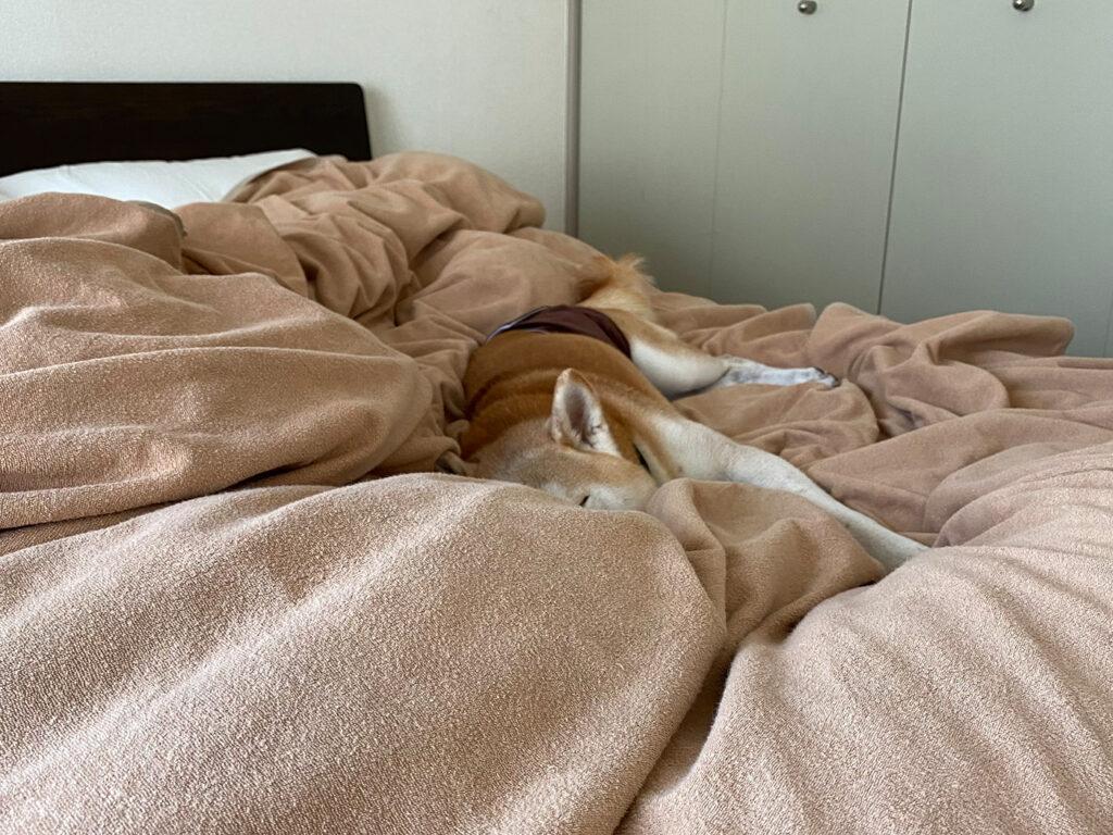 くしゃくしゃお布団。 ベッド 朝 寝起き モク 柴犬